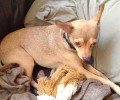 Doggie Heimlich maneuver saves Chester!